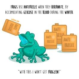 ranas-anticongelante-inglés-para-web